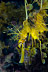 Leafy Seadragon