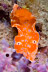 Short-tailed Ceratosoma Nudibranch