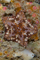 Tosia magnifica sea star