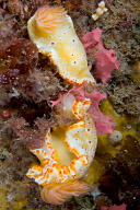 Haloed chromodoris Nudibranch