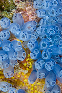 Tunicates