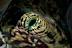 Tridacna Siphon