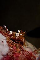 Thor Shrimp