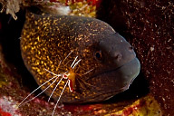 Yellow Margin Moray Eel