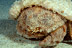 Redeye Sponge Crab
