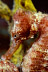 Longsnout Seahorse