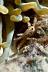 Anemone Crab