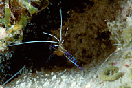 Pederson&#039;s Cleaner Shrimp