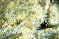 Pederson's Cleaner Shrimp