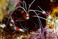 Banded Cleaner Shrimp