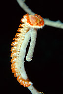Bearded Fire Worm