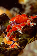 Cryptic Teardrop Crab