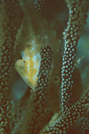 Slender Filefish in Gorgonian