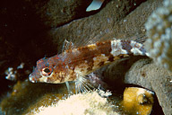 Saddled Goby