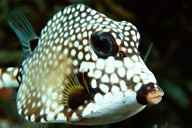 SmoothTrunkfish