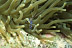 Spotted Cleaner Shrimp on Anemone