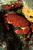 Batwing Coral Crab