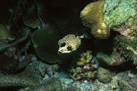 Baby Trunkfish