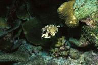 Baby Trunkfish
