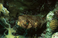 Balloonfish
