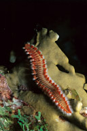 Bearded Fireworm