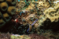 Pederson Cleaner Shrimp