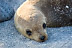 Juvenile Sea Lion