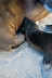 Sea Lion Baby Nursing