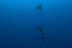 Silky Shark