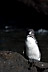 Penguin at Bartolome