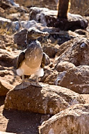 Juvenile Blue Footed Booby