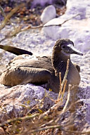 Female Blue Footed Booby