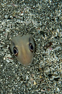 Conger Eel