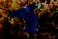 Tamja Mullineri Nudibranch