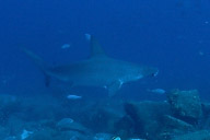 Hammerhead Shark