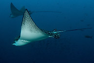 Eagle Rays