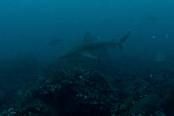 Galapagos Sharks