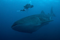 Whaleshark and Walter