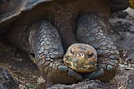 Land Turtle