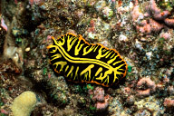 Divided Flatworm