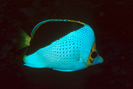 Tinker&#039;s Butterflyfish
