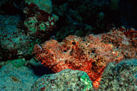 Titan Scorpionfish