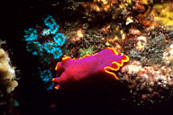 Fuschia Flatworm