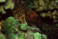 Yellowmargin Moray Eel