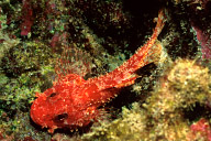 Decoy Scorpionfish