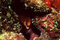 Dwarf Moray Eel