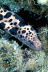 Tiger Moray Eel