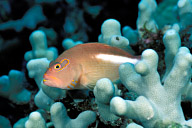 Arc Eye Hawkfish