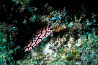 Phyllidia Nudibranch