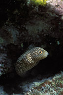 Juvenile Moray Eel